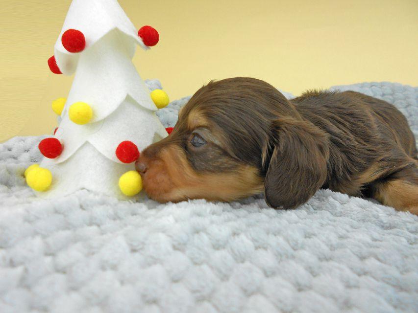 カニンヘンダックスフンド ピノ & スルガの子犬 チョコイエロー(チョコクリーム) 男の子(1)お写真初登場