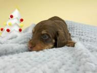 ピノ & スルガの子犬 チョコイエロー(チョコクリーム) 男の子(2)お写真初登場