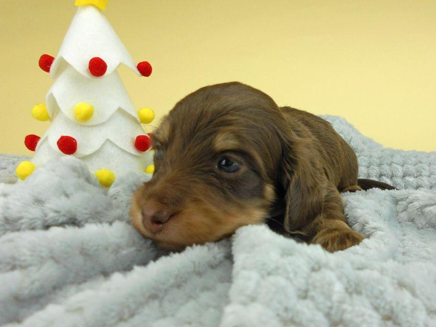 カニンヘンダックスフンド ピノ & スルガの子犬 チョコイエロー(チョコクリーム) 男の子(2)お写真初登場