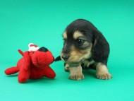 ココcs & 朝日の子犬 ブラックイエロー(ブラッククリーム)男の子