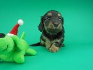 ココcs & 朝日の子犬 ブラックイエロー(ブラッククリーム)女の子