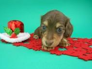 ピノ & スルガの子犬 チョコイエロー(チョコクリーム) 男の子(1)