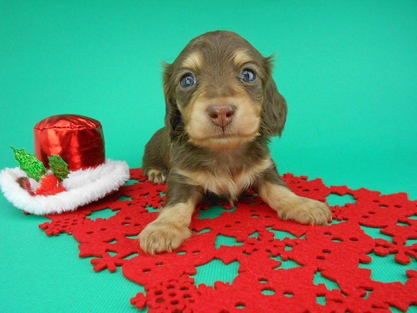 カニンヘンダックスフンド ピノ & スルガの子犬 チョコイエロー(チョコクリーム) 男の子(1)