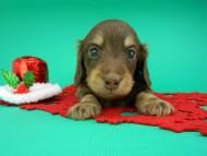ピノ & スルガの子犬 チョコイエロー(チョコクリーム) 男の子(2)