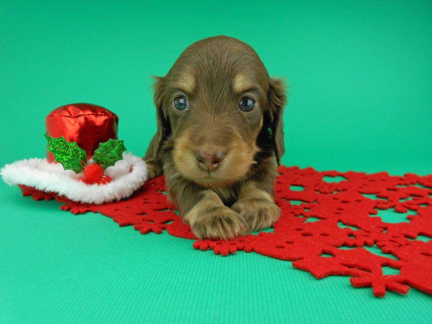 カニンヘンダックスフンド ピノ & スルガの子犬 チョコイエロー(チョコクリーム) 男の子(2)