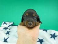 ナンシーcs & ナイトの子犬 ブラックタン 男の子(1)