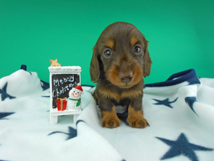 カニンヘンダックスフンド ナンシーcs & ナイトの子犬 チョコタン 男の子