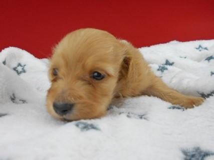 カニンヘンダックス ププリン & クッキーの子犬 クリアレッド 男の子