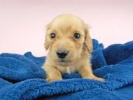 ププリン & クッキーの子犬 クリアレッド 男の子
