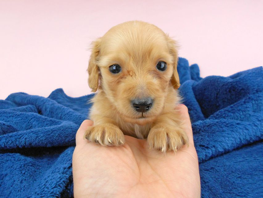 カニンヘンダックスフンド ププリン & クッキーの子犬 クリアレッド 男の子