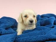 ププリン & クッキーの子犬 ペールイエロー(ピュアクリーム) 男の子