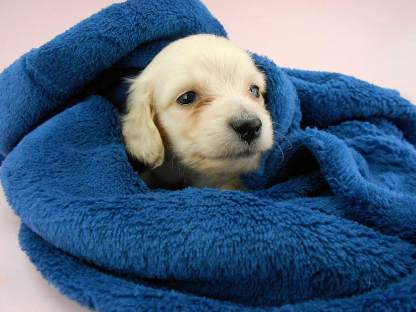 カニンヘンダックスフンド ププリン & クッキーの子犬 ペールイエロー(ピュアクリーム) 男の子