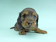 ルチア & ジムの子犬 レッド 男の子