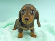 ナンシーcs & ナイトの子犬 チョコタン 男の子