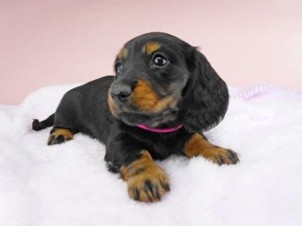 ミニチュアダックス ルチア & ジムの子犬 ブラックタン 女の子