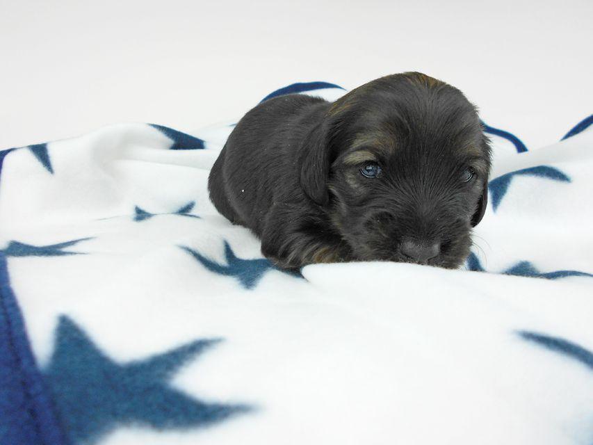カニンヘンダックスフンド オーロラ & 竹千代の子犬 イエロー(クリーム) 女の子 お写真初登場