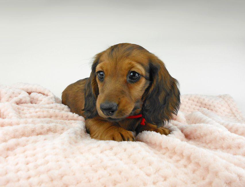 ミニチュアダックスフンド ルチア & ジムの子犬 レッド 女の子