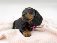 ルチア & ジムの子犬 ブラックタン 女の子
