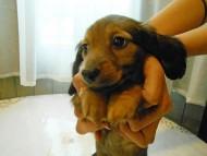 ララ & 竹千代の子犬 レッド 女の子