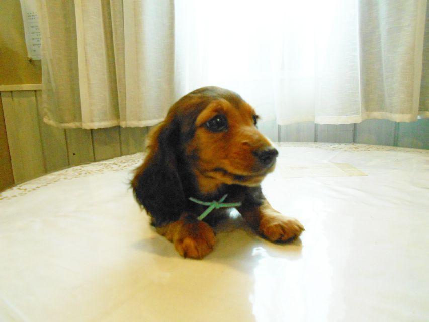 ミニチュアダックスフンド ルチア & ジムの子犬 レッド 男の子