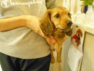 ルチア & ジムの子犬 イエロー(クリーム) 男の子