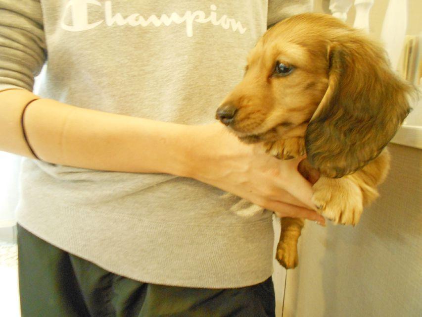 ミニチュアダックスフンド ルチア & ジムの子犬 イエロー(クリーム) 男の子