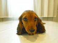 ルチア & ジムの子犬 レッド 女の子