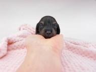 クム & ブルースの子犬 ブラックイエロー(ブラッククリーム) 男の子 お写真初登場
