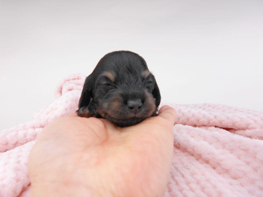 カニンヘンダックスフンド クム & ブルースの子犬 ブラックイエロー(ブラッククリーム) 男の子 お写真初登場