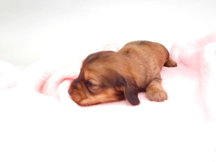 カニンヘンダックスフンド シエラcs & たけるの子犬 イエロー(クリーム) 男の子(1) お写真初登場