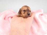 シエラcs & たけるの子犬 イエロー(クリーム) 男の子(2) お写真初登場