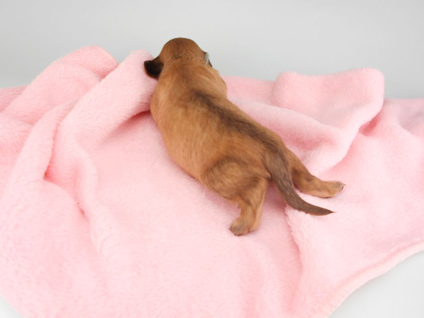 カニンヘンダックスフンド シエラcs & たけるの子犬 イエロー(クリーム) 男の子(2) お写真初登場