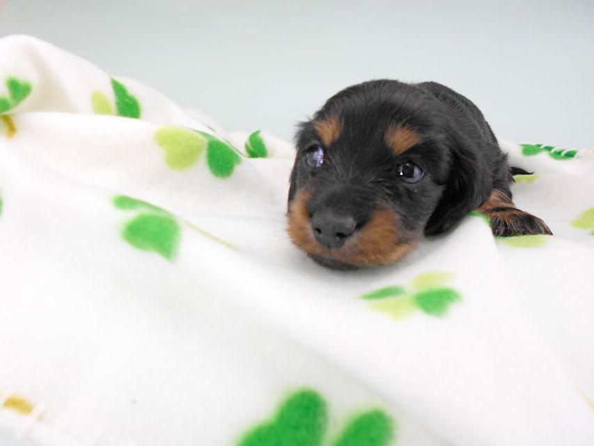 カニンヘンダックスフンド クム & ブルースの子犬 ブラックタン 男の子