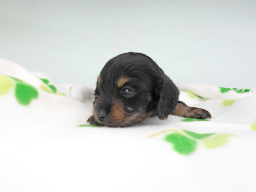 カニンヘンダックスフンド クム & ブルースの子犬 ブラックイエロー(ブラッククリーム) 男の子