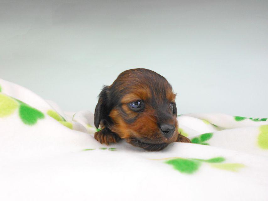 カニンヘンダックスフンド クム & ブルースの子犬 レッド 男の子