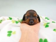クム & ブルースの子犬 レッド 男の子