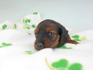 クム & ブルースの子犬 レッド 女の子