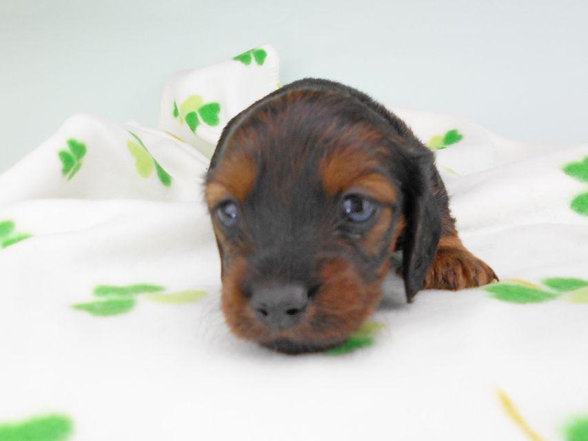 カニンヘンダックスフンド クム & ブルースの子犬 レッド 女の子