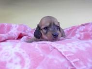 シエラcs & たけるの子犬 イエロー(クリーム) 女の子 お写真初登場