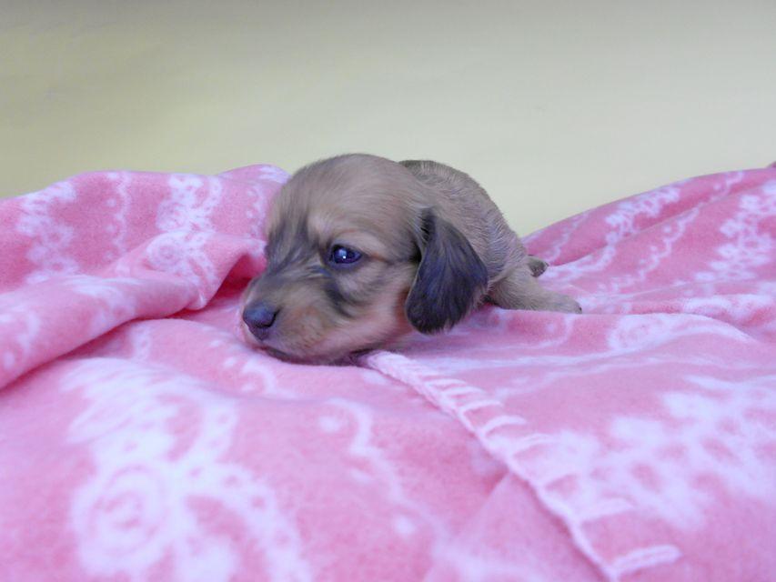 カニンヘンダックスフンド シエラcs & たけるの子犬 イエロー(クリーム) 女の子 お写真初登場