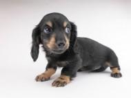 クム & ブルースの子犬 ブラックイエロー(ブラッククリーム) 男の子(2)
