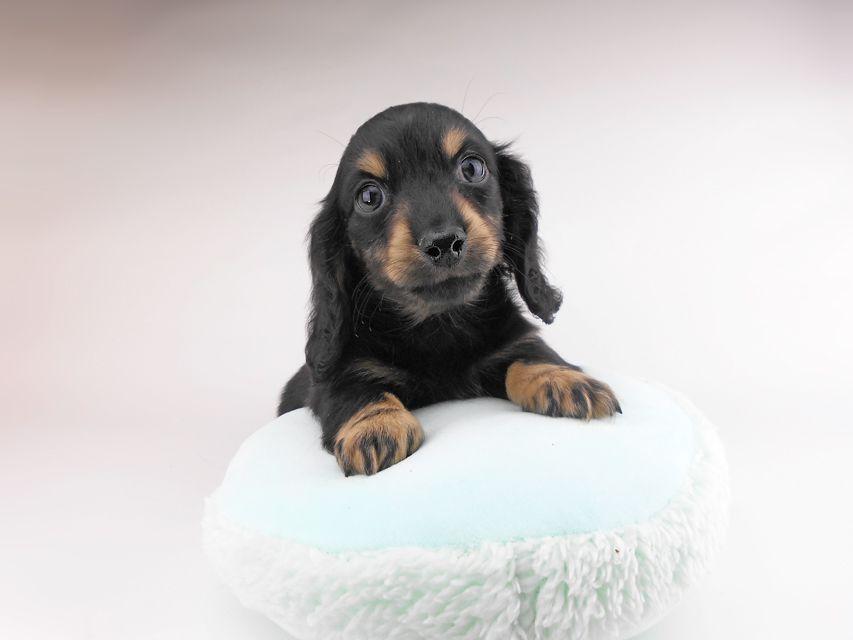 カニンヘンダックスフンド クム & ブルースの子犬 ブラックイエロー(ブラッククリーム) 男の子(2)