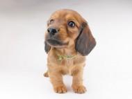 シエラcs & たけるの子犬 レッド 男の子
