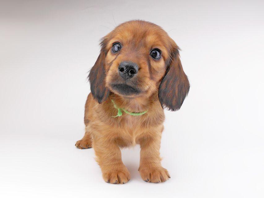 カニンヘンダックスフンド シエラcs & たけるの子犬 レッド 男の子