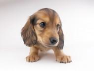 シエラcs & たけるの子犬 イエロー(クリーム) 男の子(1)