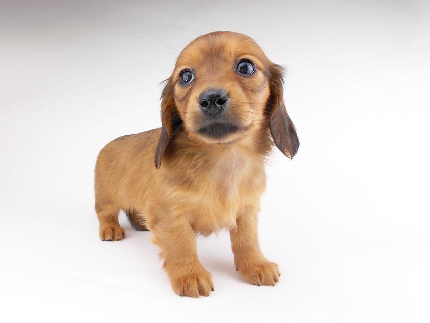 カニンヘンダックスフンド シエラcs & たけるの子犬 レッド 女の子