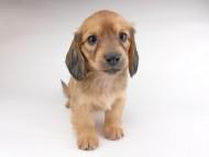 シエラcs & たけるの子犬 イエロー(クリーム) 女の子