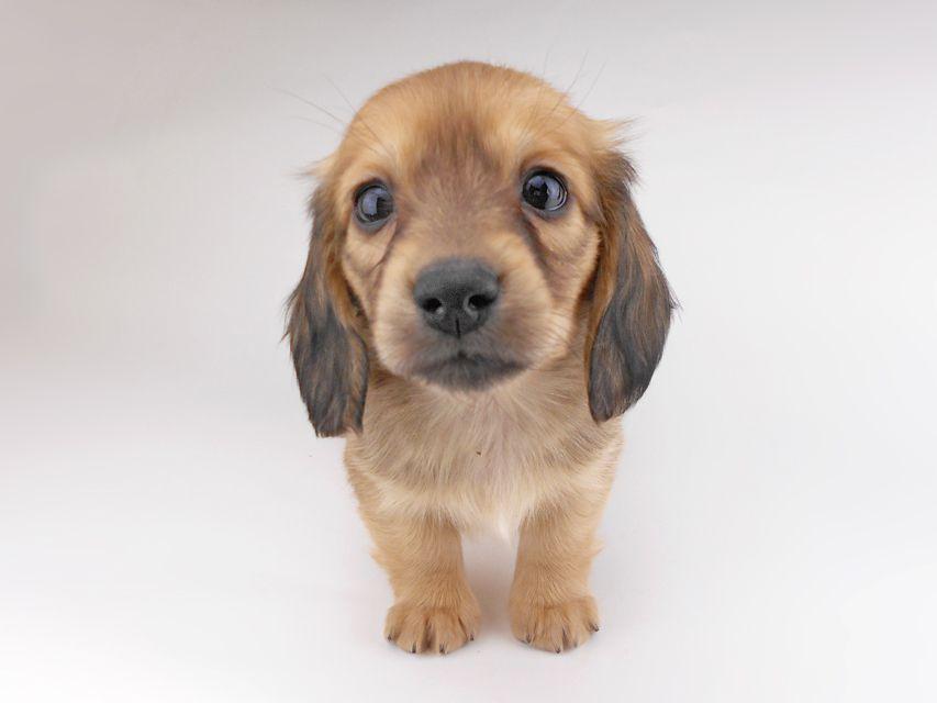 カニンヘンダックスフンド シエラcs & たけるの子犬 イエロー(クリーム) 女の子