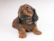 レイcs & ジャンの子犬 レッド 男の子