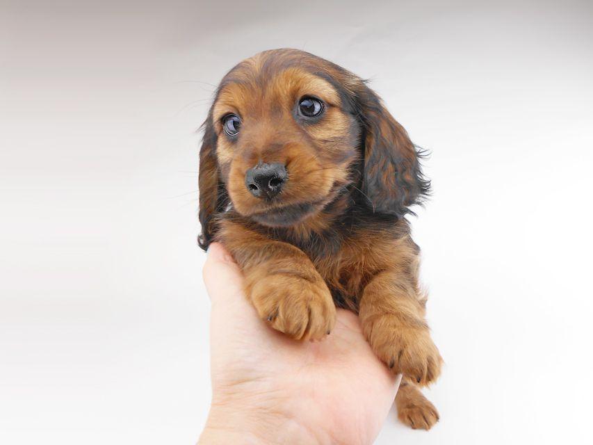 カニンヘンダックスフンド レイcs & ジャンの子犬 レッド 男の子